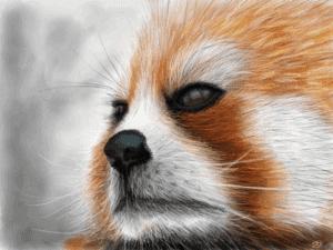 Red Panda (Ailurus fulgens) image