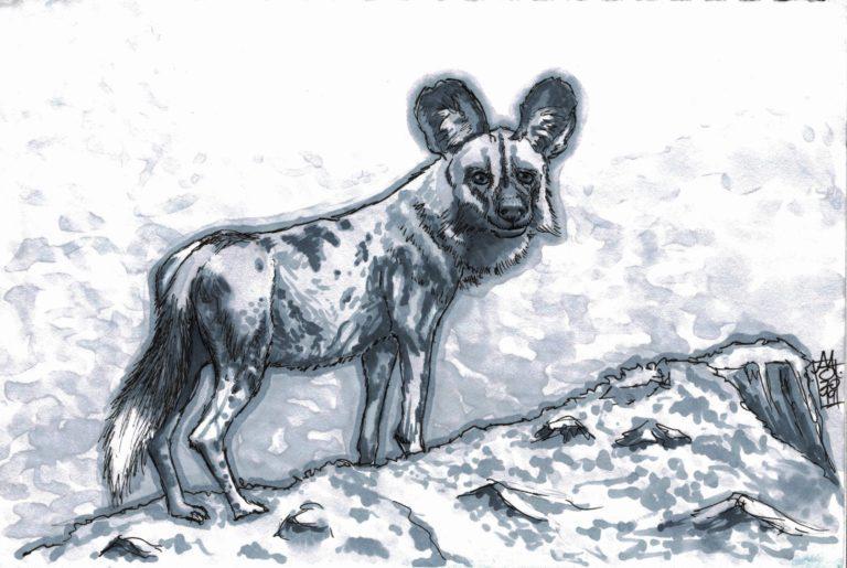 African Wild Dog (28-09-2019)
