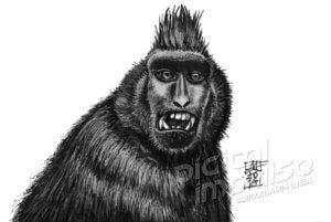Black Macaque (01-11-2018)