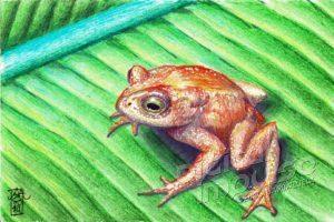 Golden Toad (Bufo Periglenes) (05-04-2019))