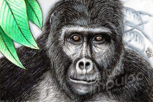 Mountain Gorilla (06-10-2019)